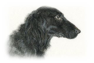Flat Coated Retriever Andy